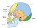 Principales huesos del cráneo y su función