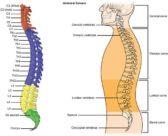 ¿Cuántas vértebras forman la columna vertebral?