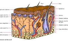 Anatomía del sistema tegumentario