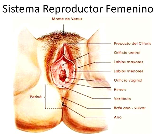 Aparato reproductor femenino externo