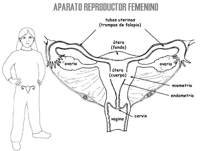 Aparato reproductor femenino para colorear