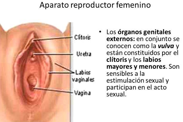 Funciones del aparato reproductor femenino