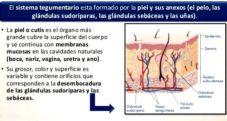 Funciones principales del sistema tegumentario