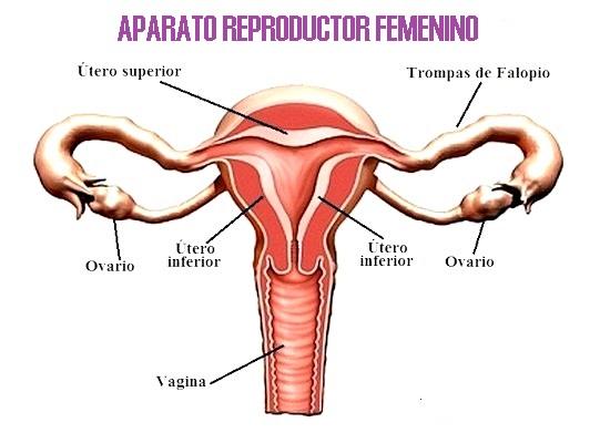 Imágenes del aparato reproductor femenino