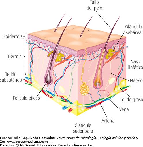 Imágenes del sistema tegumentario