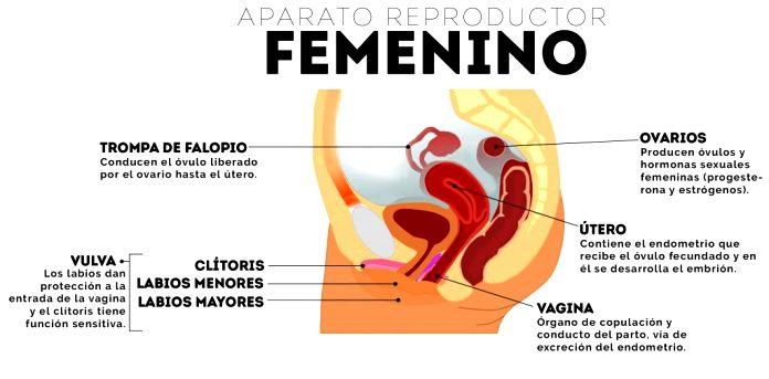 Órganos del aparato reproductor femenino